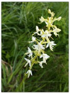 Вымирающий вид орхидеи